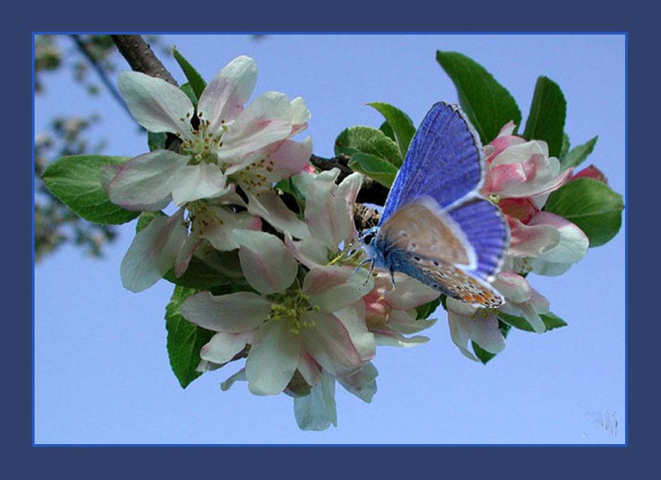 Fleur de pommier photo et image plantes champignons - Image papillon et fleur ...