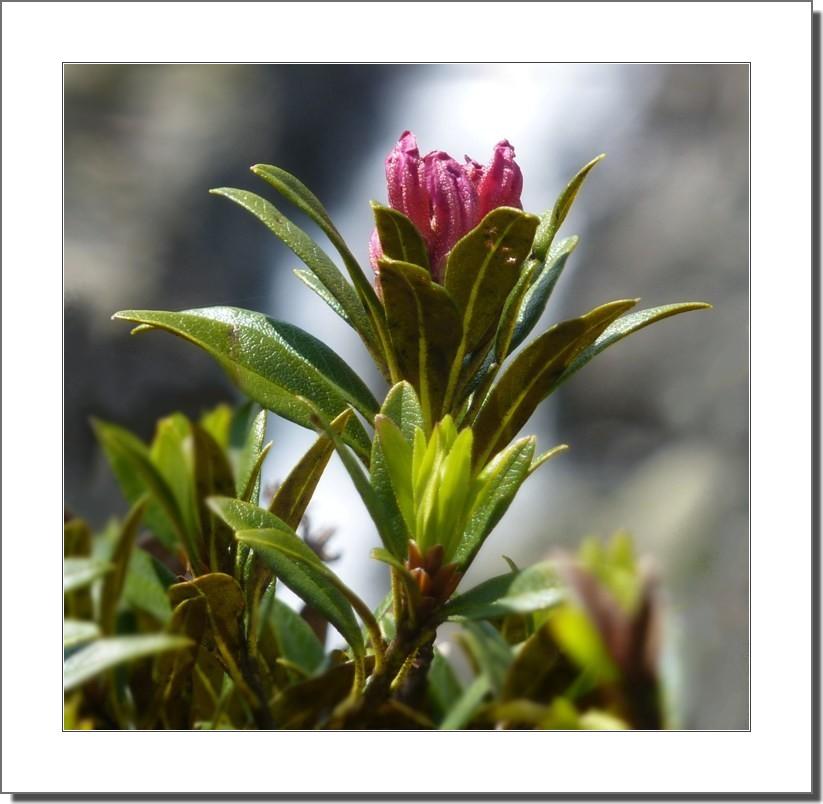 Fleur de Rhododendrons