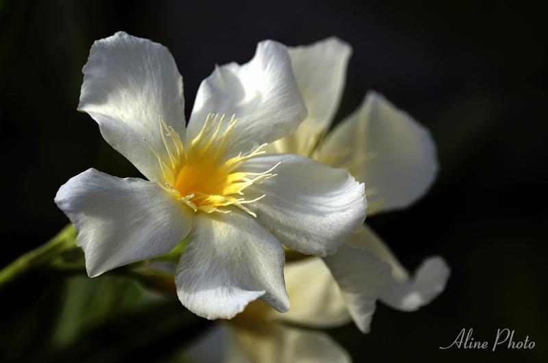Fleur des Canaries