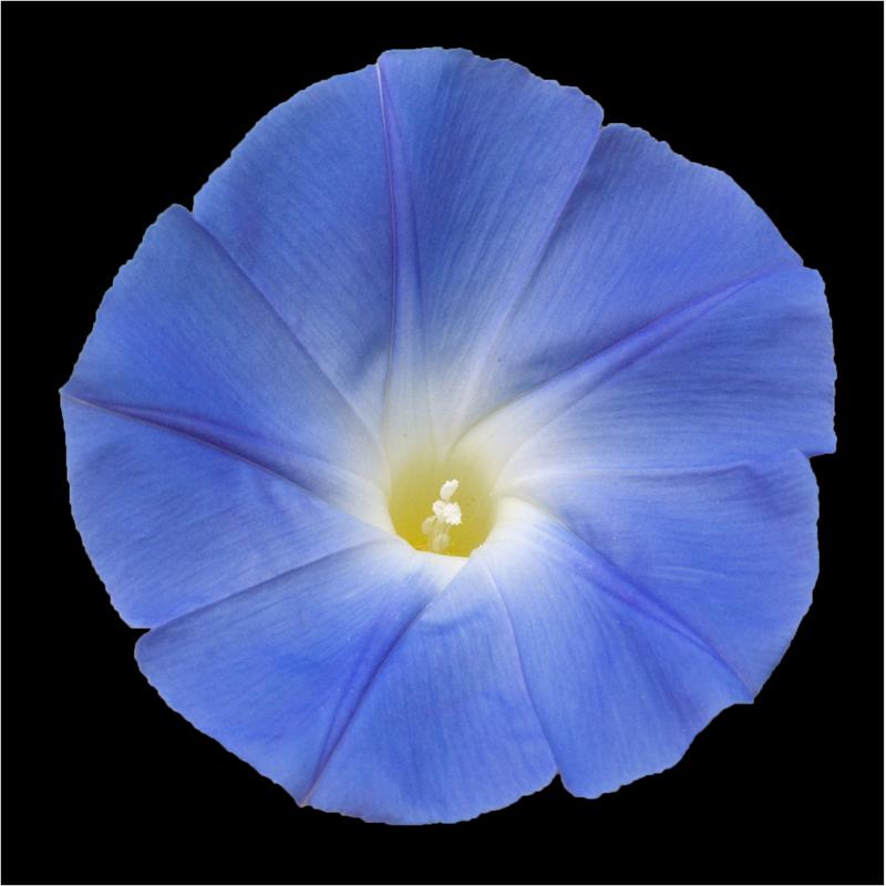 Fleur d'ipomée (02)