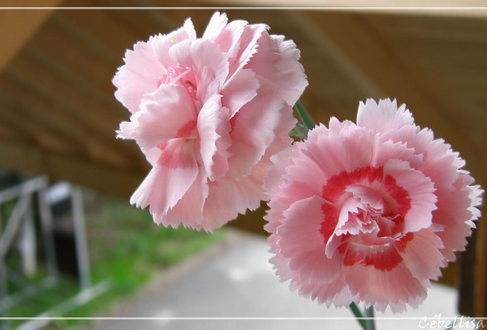 Fleur d'Oeillets