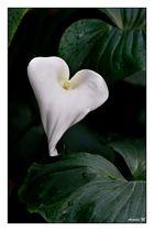 fleur du coeur
