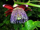 Fleur exotique de l'ile de Madère