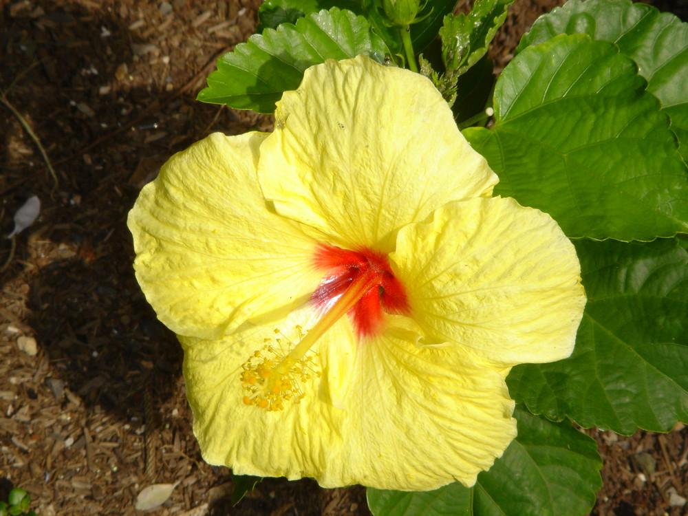 fleur hawaii