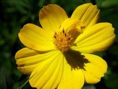 fleur jaune!