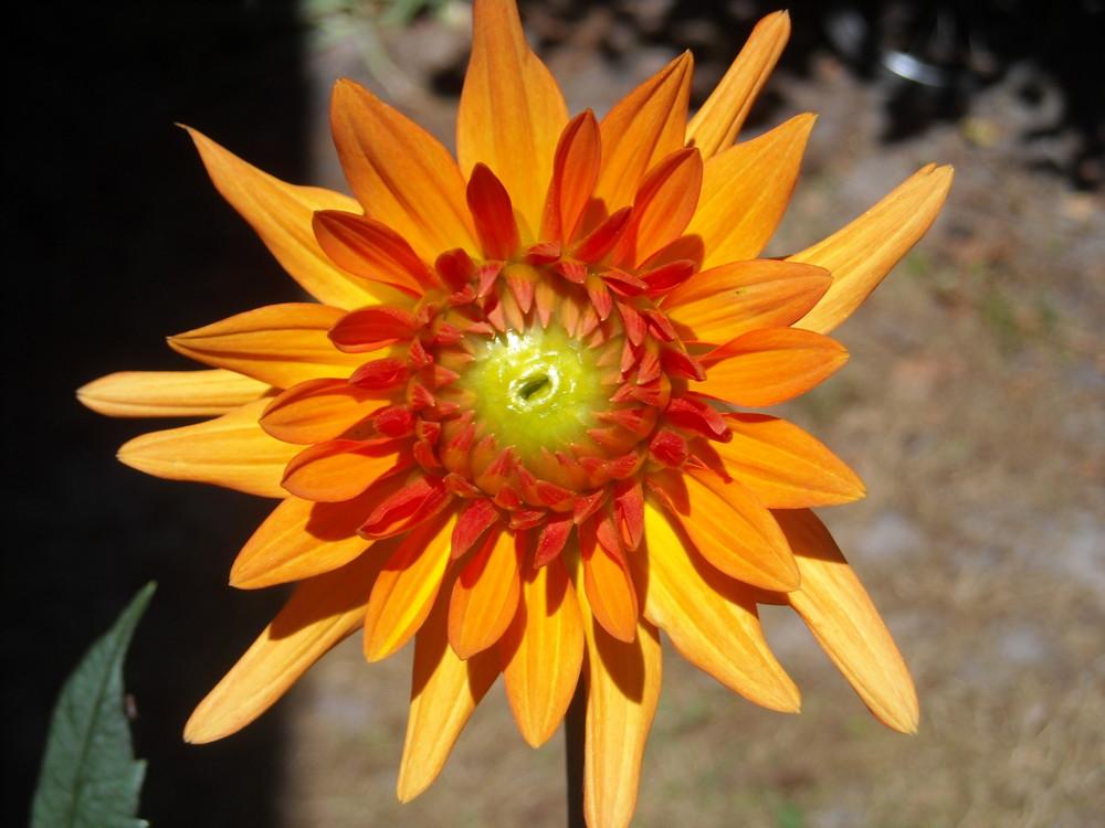 """Fleur """"soleil"""""""