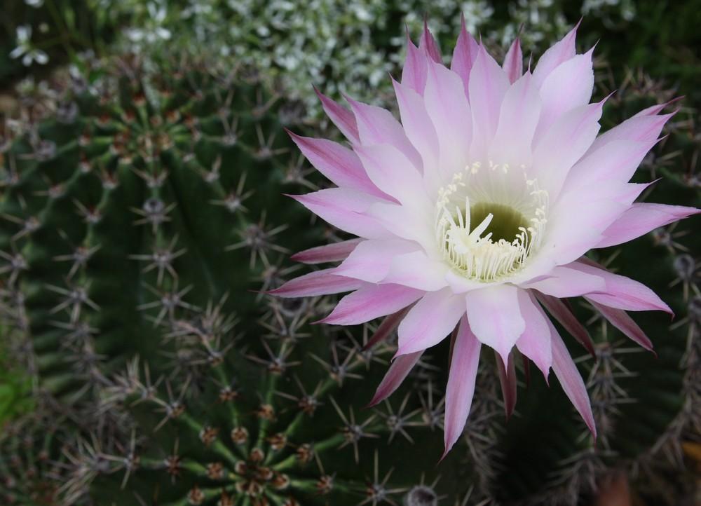 Fleur sur épines