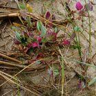 Fleur sur une dune