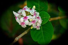 Fleure de Maurice