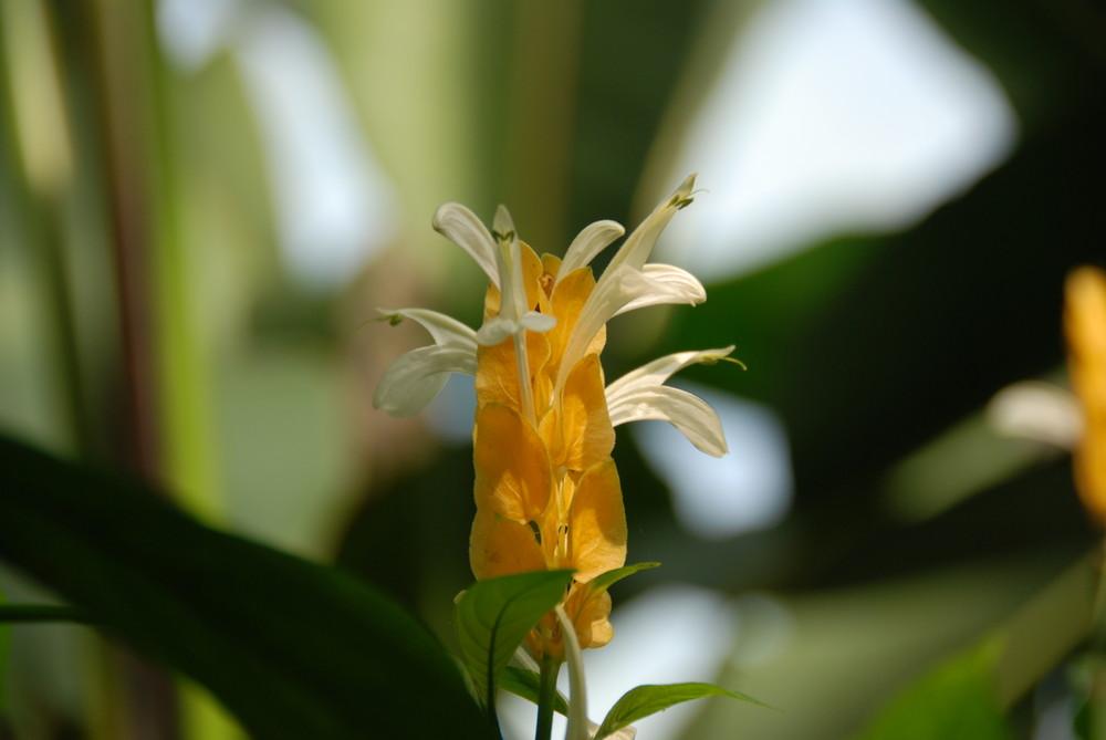 Fleure du Costa Rica
