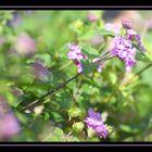 fleurette