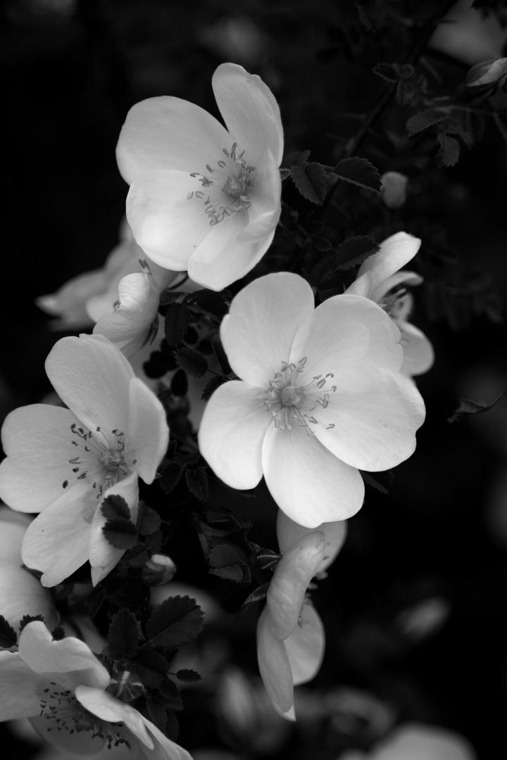 fleurs blanches