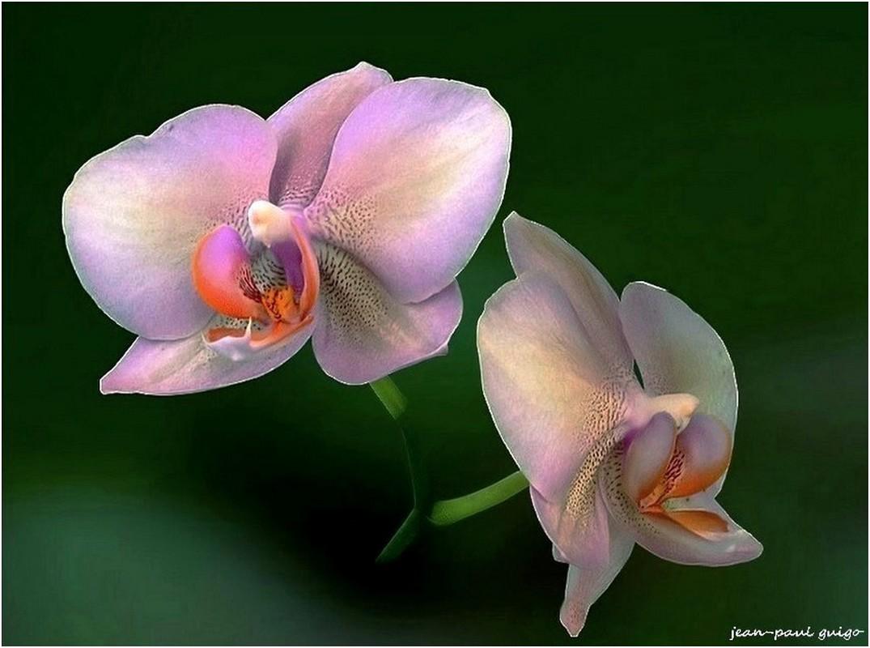 fleurs d' orchidée