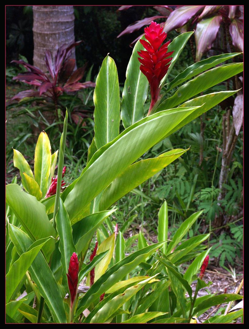 Fleurs d'alpinia rouge dans le jardin de l'Hôtel Evasion - Sarraméa (Nouvelle-Calédonie)