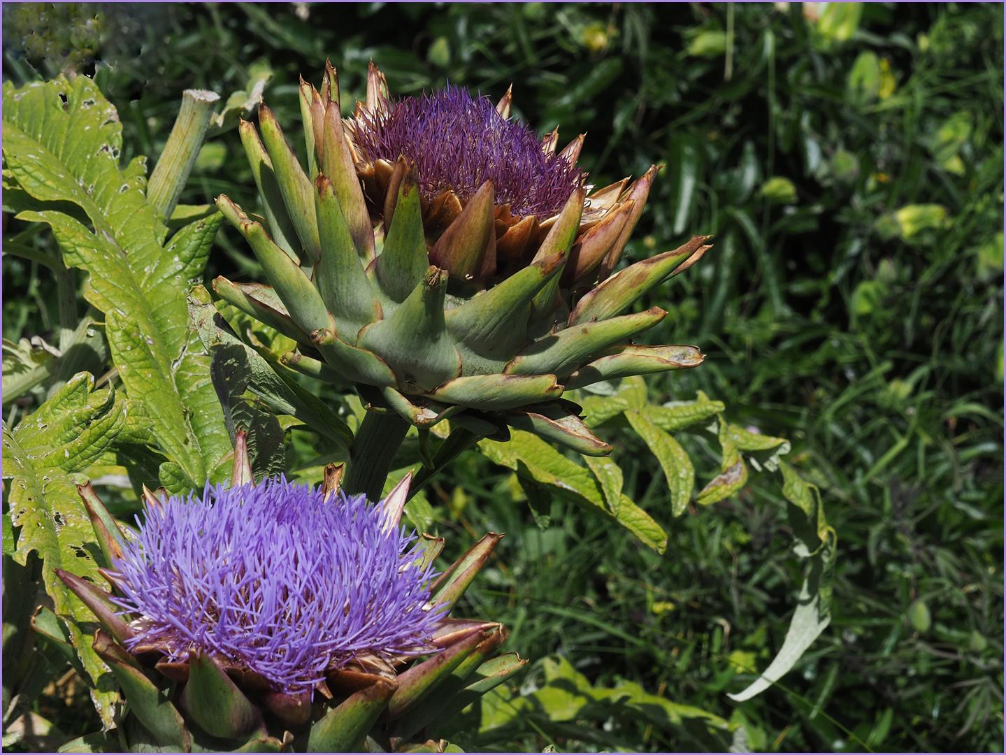 Fleurs d'artichauts photo et image | les saisons, eté ...