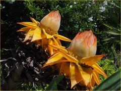 Fleurs de bananier nain chinois lotus d'or