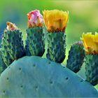 fleurs de cactus ....