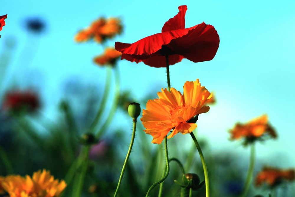 fleurs de campagne