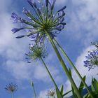 Fleurs de ciel
