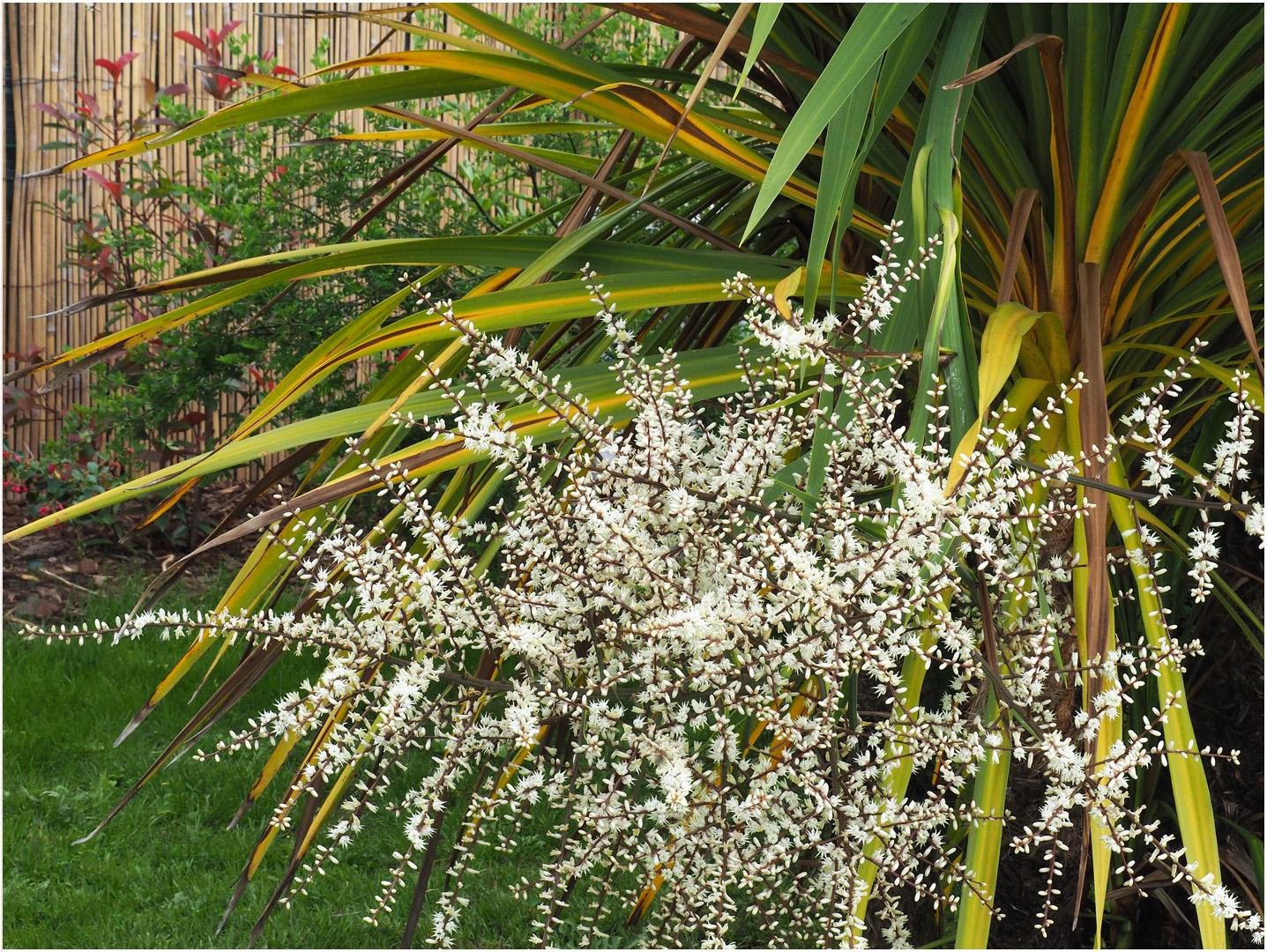 Fleurs de cordyline australis