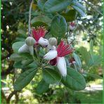 Fleurs de Feijoa sellowiana ou acca sellowiana