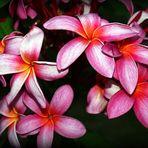 Fleurs de frangipanier d'une rose soutenu Rosa rote Frangipani-Blüten
