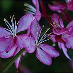 Fleurs de gaura de Lindheimer - Lindheimer Gaura-Blumen