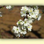 Fleurs de mirabellier   --  Mirabellenbaumblüten