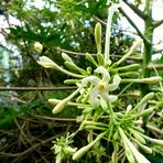 Fleurs de papayer