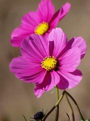 fleurs des jacheres (1)