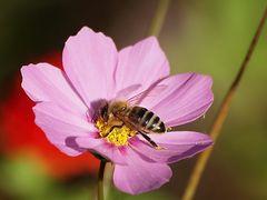 fleurs des jacheres (2)