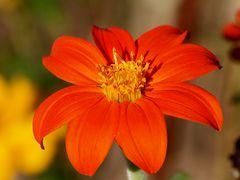 Fleurs des jacheres (4)