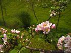 Fleurs du pommier - Apfelblüte Ii