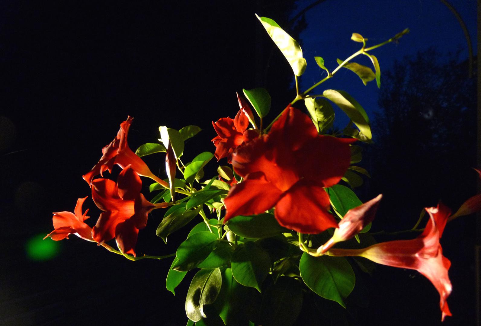 Fleurs en éclairage indirect