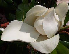fleurs gèantes de magnolia