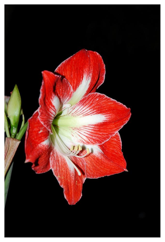 Fleurs Nocturne