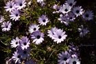 Fleurs violettes toutes mignonne.