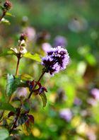 Fliederfarbene_Wiesenblume