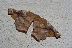 Fliederspanner (Apeira syringaria) - L'Ennomos du Lilas.