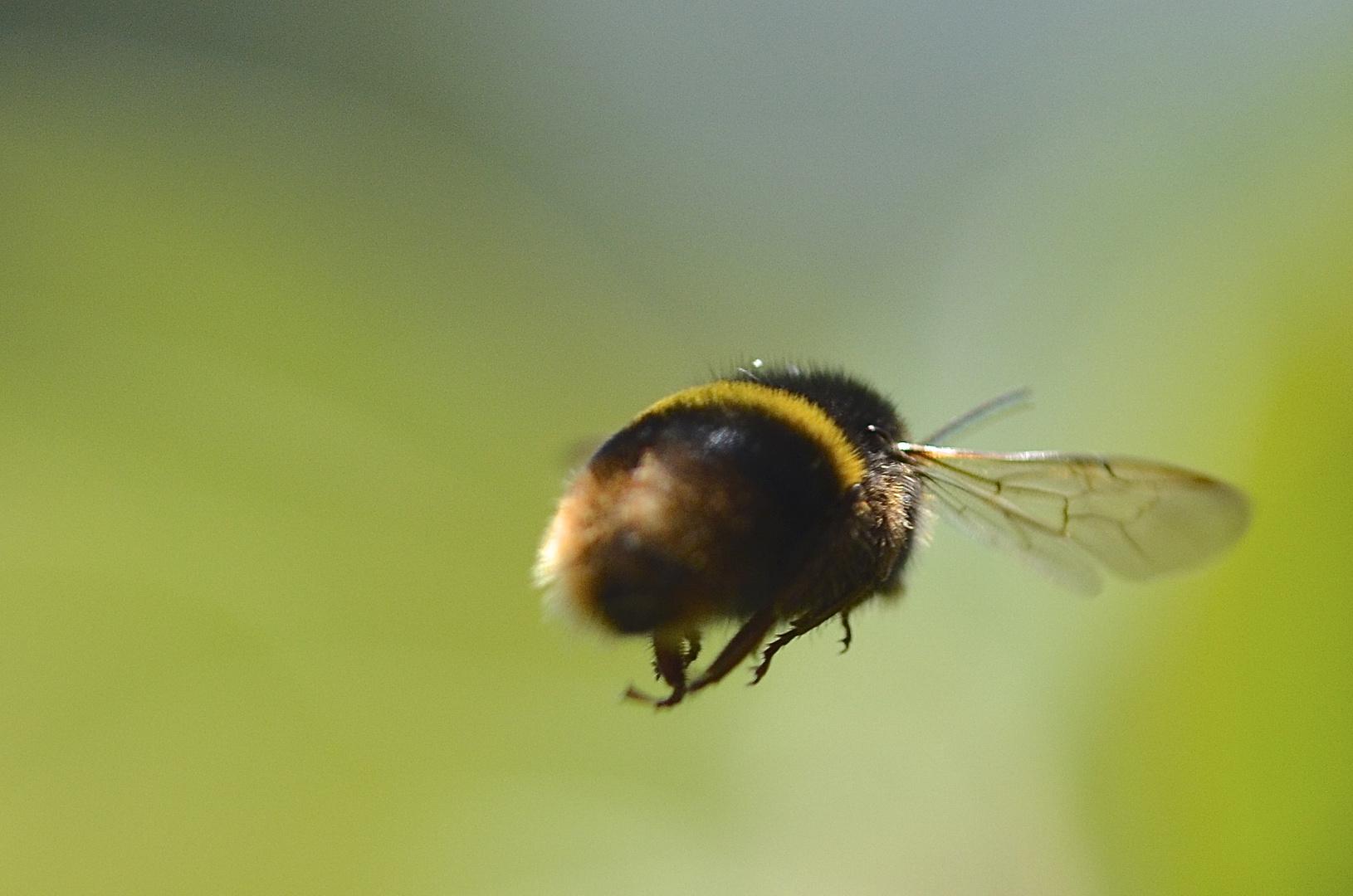 flieg Hummel flieg