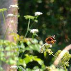 Flieg, Schmetterling, flieg ...