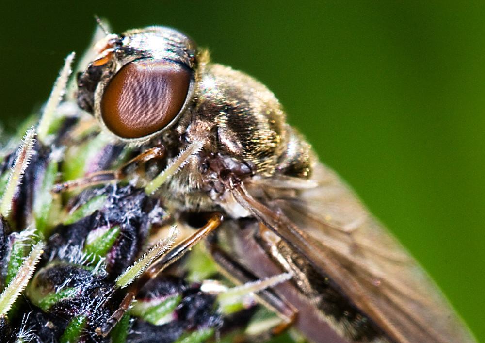 Fliege 05 - Schau mir in die Augen ....