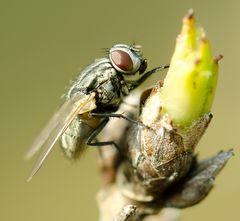 Fliege (2)