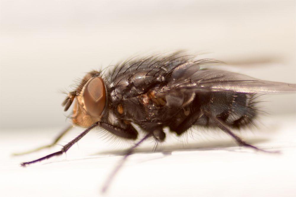 Fliege #2