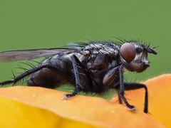 Fliege-4
