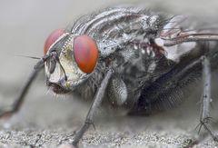 Fliege am Auge
