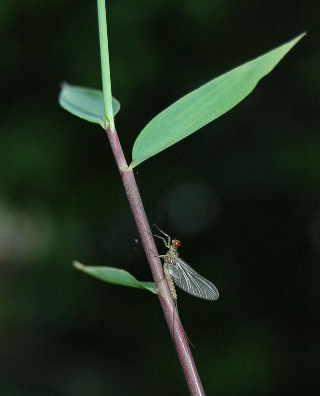 Fliege am Bambus