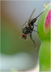 Fliege (Art?)