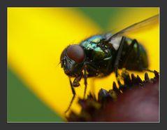Fliege auf Aster