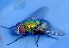 Fliege auf Blau...